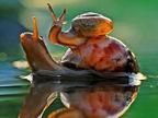摄影师捕捉蜗牛妈妈背小仔过水坑场景
