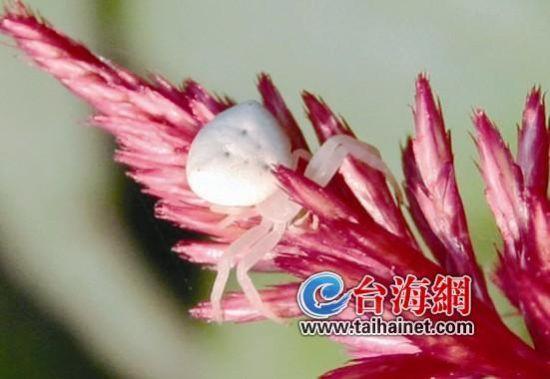 龙海村民家中现人面蜘蛛 半透明似翡翠
