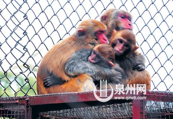 东湖公园猴子一家依偎取暖