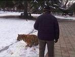 河南老汉公园遛老虎引市民围观