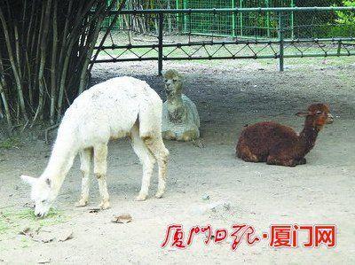 海沧野生动物园羊驼小姐遇上秘鲁丈夫