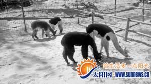 漳浦迎来4只草泥马