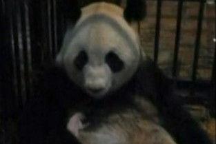 日本上野动物园中国熊猫宝宝因肺炎夭折