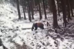 野生熊猫偷食羊羔