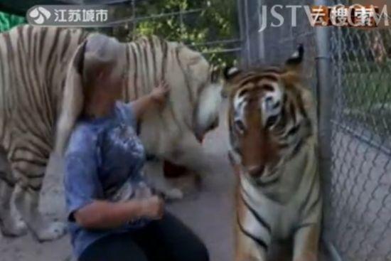 女子养老虎当宠物