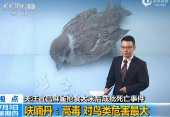 大批麻雀抢食大米死亡 体内检出剧毒杀虫剂