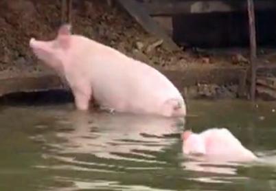 家养猪练跳水