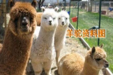 游客喂食夹竹桃叶 毒死羊驼和小熊猫
