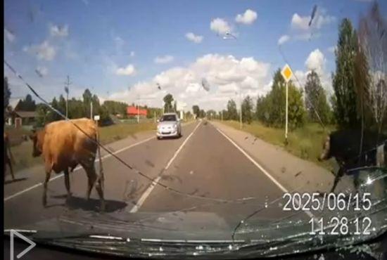 车载录像拍下两头牛过马路时交配被撞飞